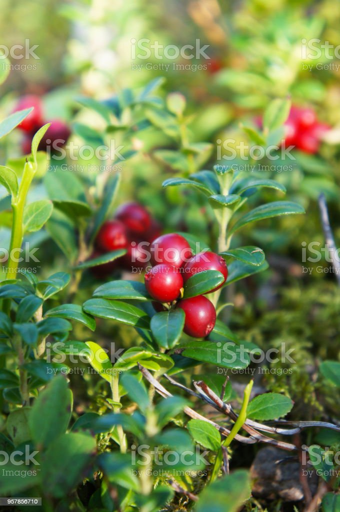 Bush of red bilberries or whortleberries or cowberries or mountain cranberries or foxberry or lingonberry berry stock photo