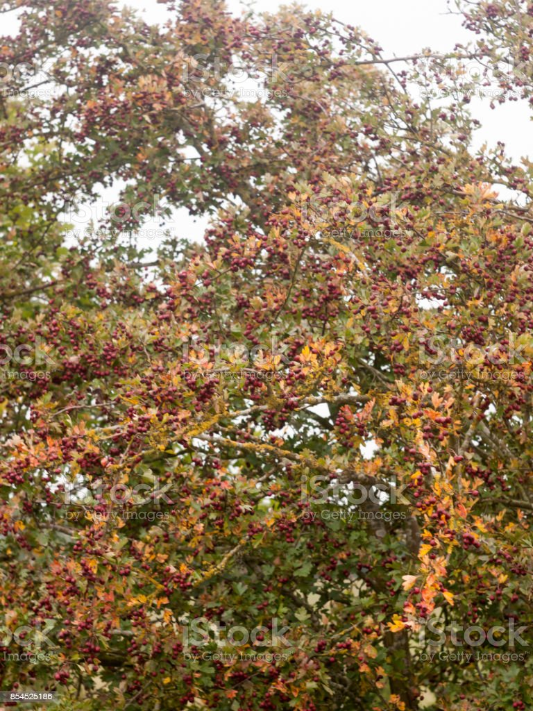 bush of red hawthorns on tree in autumn stock photo