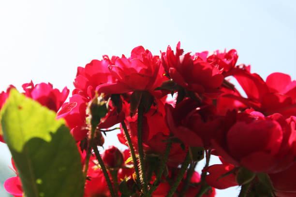 Bush of red roses in the garden picture id1200474394?b=1&k=6&m=1200474394&s=612x612&w=0&h=b7fdtlzsb7wtpauog53oz nnfovmpqzt0xforc 3yyc=