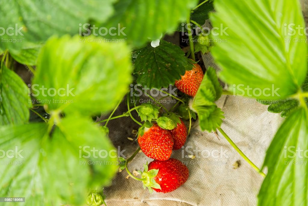 Bush of red strawberry growing in a garden foto royalty-free