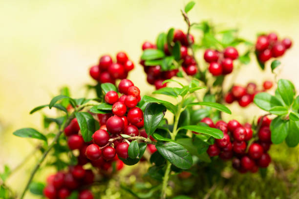 bush of ripe cowberry in a forest stock photo