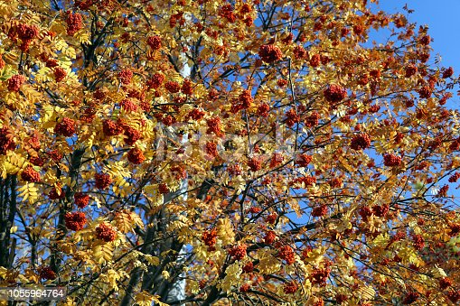 istock Bush of ripe Rowan in the fall. 1055964764