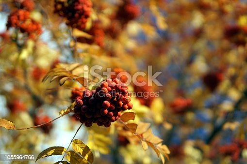 istock Bush of ripe Rowan in the fall. 1055964766
