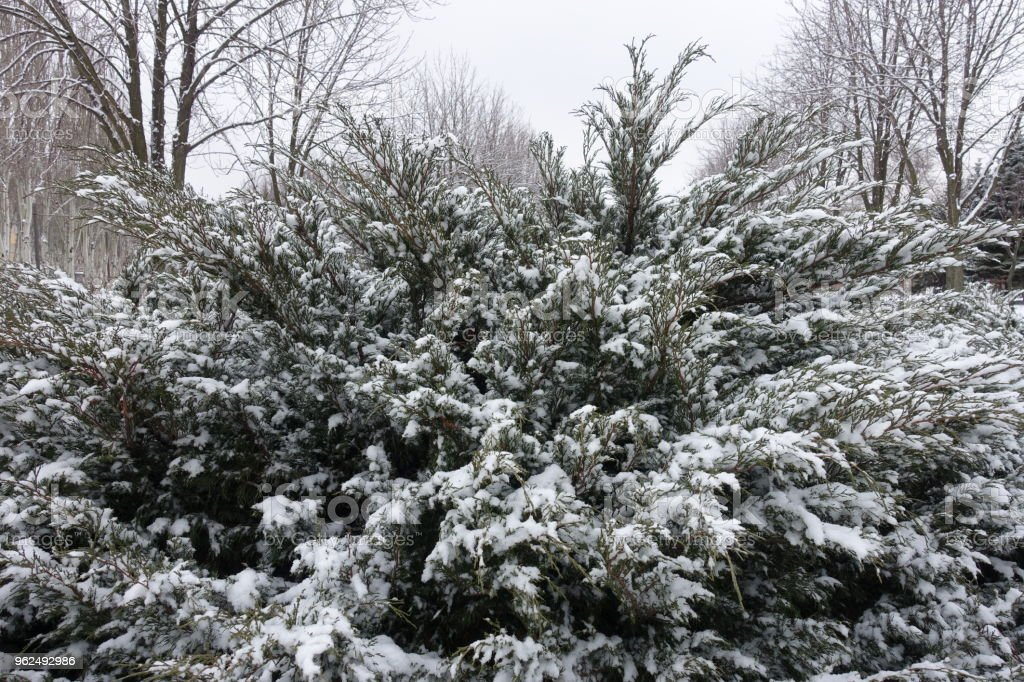 Bush of savin juniper covered with snow in winter - Royalty-free Botany Stock Photo