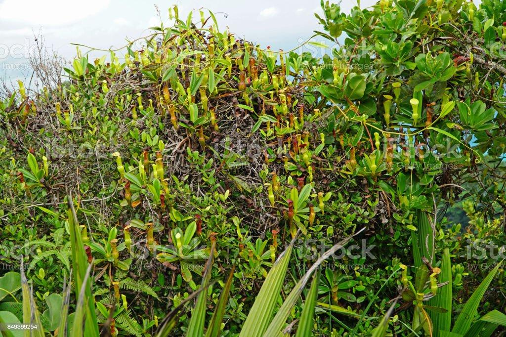 Bush of Seychelles Pitcher Plant stock photo