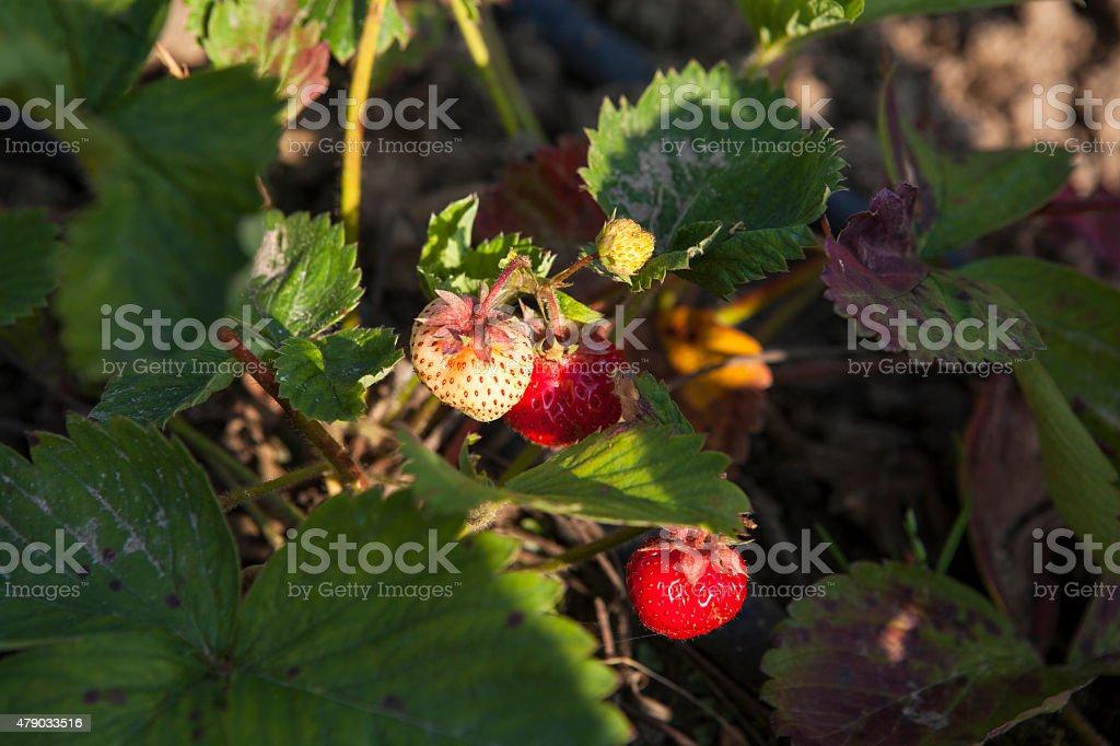 Bush of strawberry stock photo