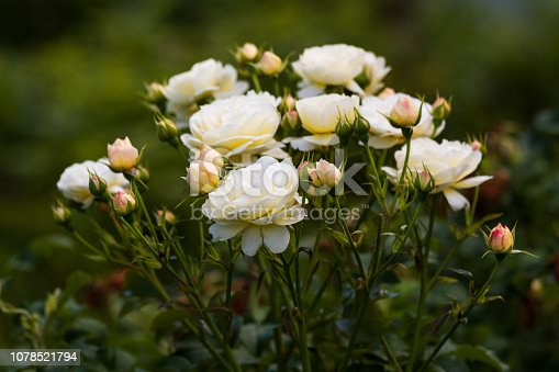 Bush of white roses in the summer garden