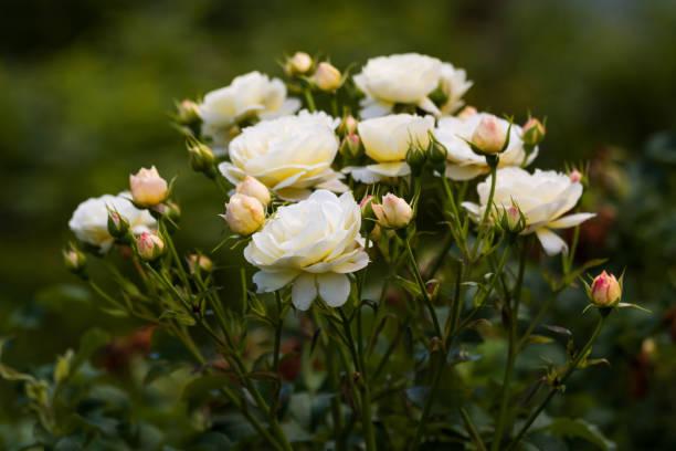Bush of white roses in the summer garden picture id1078521794?b=1&k=6&m=1078521794&s=612x612&w=0&h=e61xu scqe0rgomy1otdef xjmycx1vf7ncjn ibj3m=