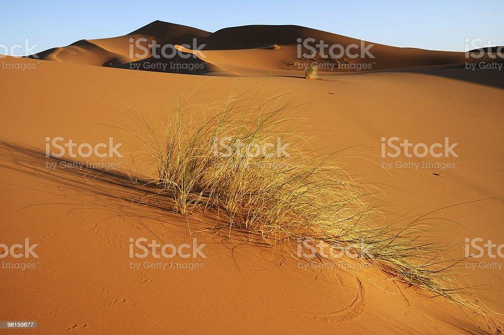 Bush resisting in the dune royalty-free stock photo