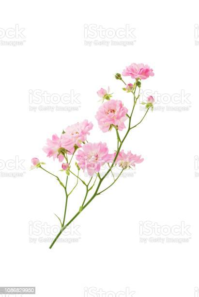 Photo of Bush rose branch with blooming pink flowers on stem isolated on white background with clipping path