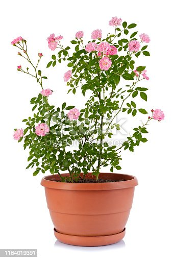 Bush rose in a flower pot isolated on a white background.