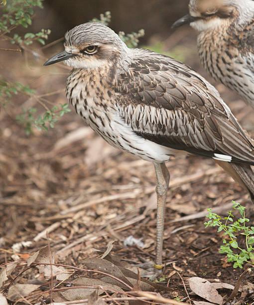 Bush Stone-curlew Bird stock photo