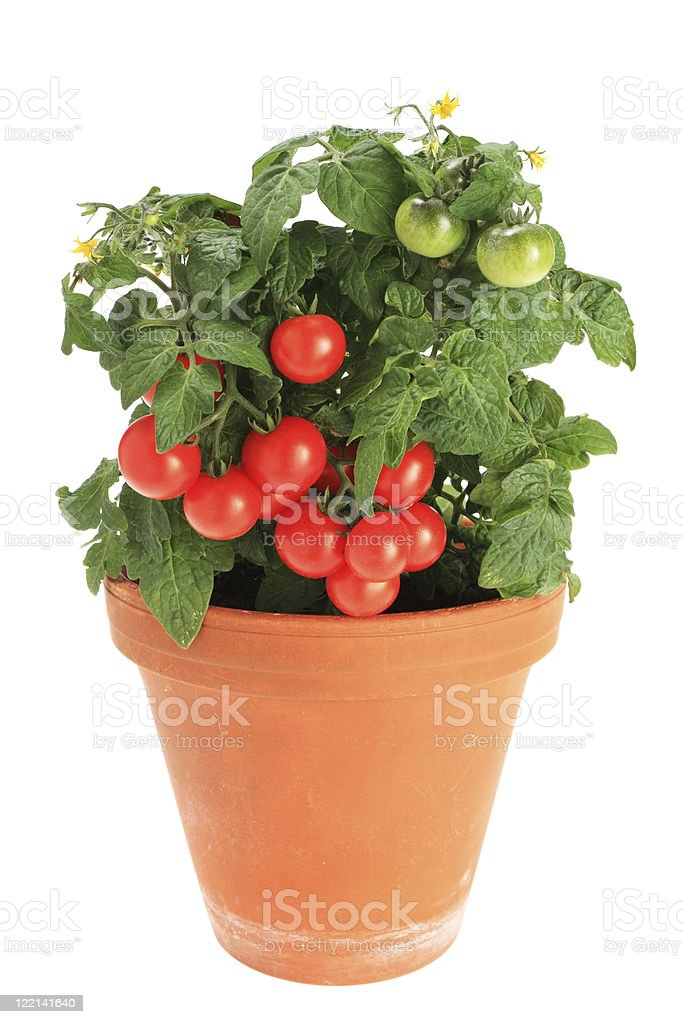 Bush tomatoes royalty-free stock photo