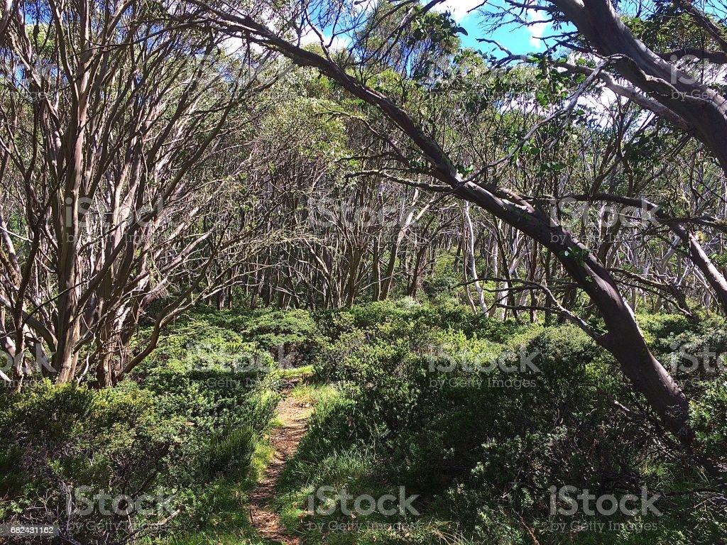 Bush track at Mt Baw Baw, Victoria royalty-free stock photo