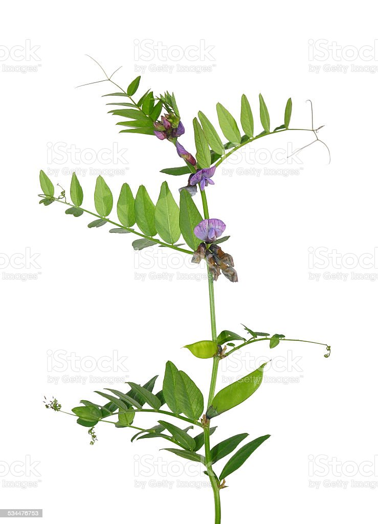 Bush vetch (Vicia sepium) stock photo