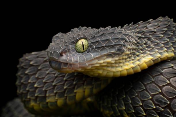 Bush Viper (Atheris squamigera) Schwarze Variation - Giftige Schlange – Foto