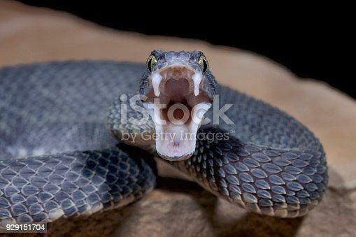 Male Venomous Black Bush Viper Snake (Atheris squamigera)displaying fangs and aggression