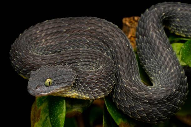 Bush Viper (Atheris squamigera) Schlange - seltene schwarze Variation – Foto