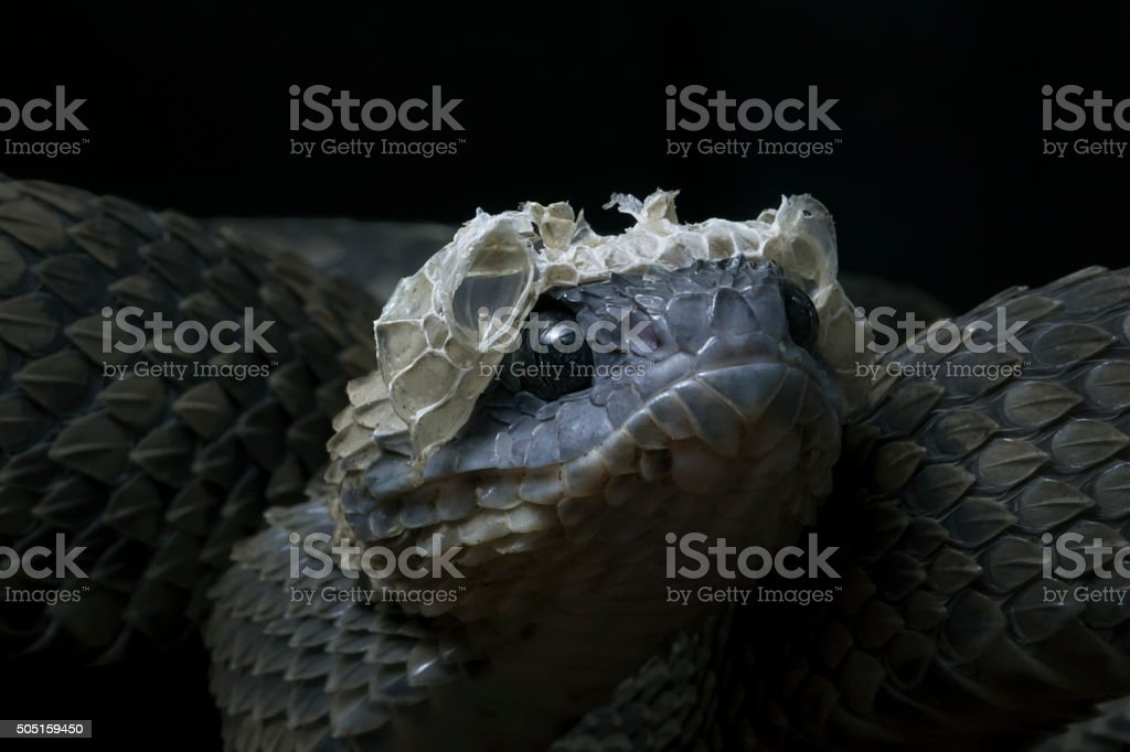 Bush Viper Snake Shedding it's Skin stock photo