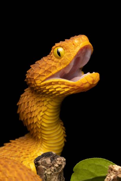 Bush Viper Schlange mit offenem Mund – Foto
