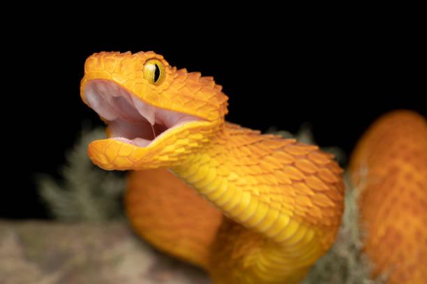 Bush Viper Schlange mit offenem Mund (Atheris squamigera) – Foto