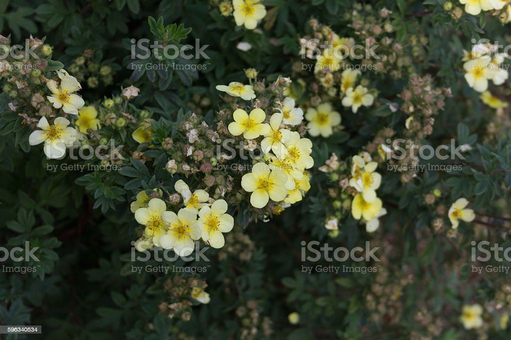 Bush with little yellow flowers and buds Lizenzfreies stock-foto