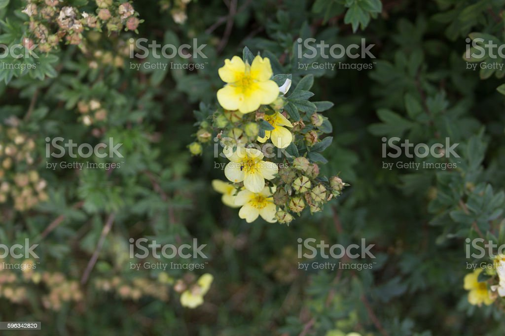 Bush with little yellow flowers and buds stock photo more pictures bush with little yellow flowers and buds royalty free stock photo mightylinksfo