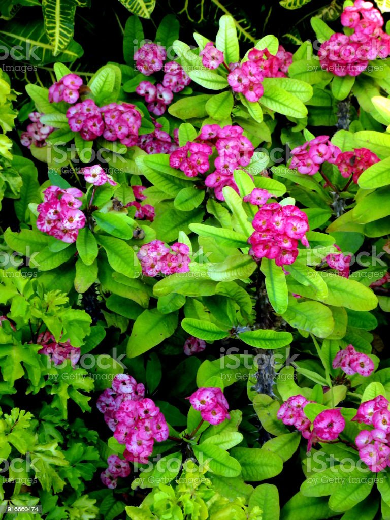 Bush With Pink Flowers Exotic Beautiful Background Stock Photo