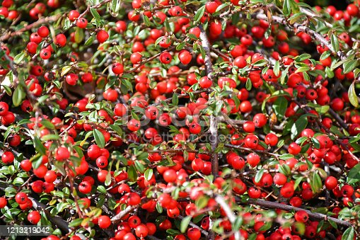 Bush with red berries at spring time