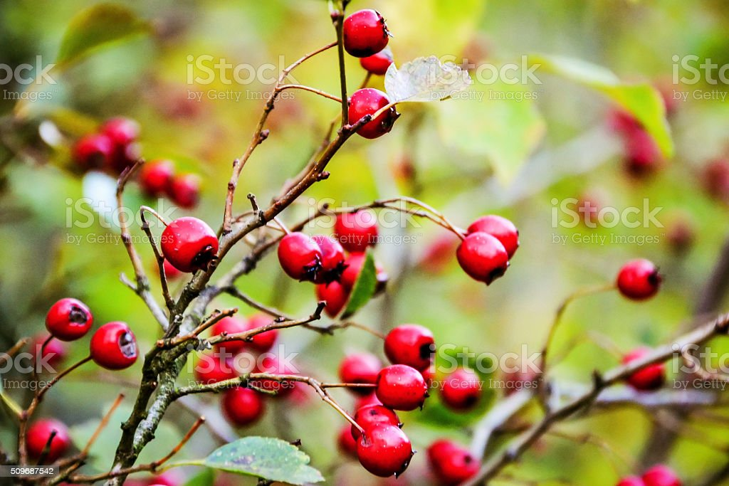 Bush with red berries stock photo