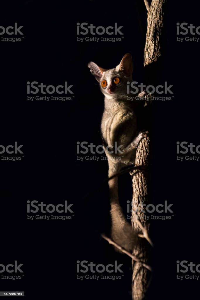 Bushbaby clinging to a branch in the dark illuminated by a spotlight stock photo