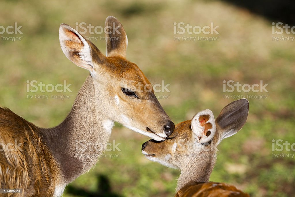 Bushbuck and baby in Kruger Park, South Africa stock photo