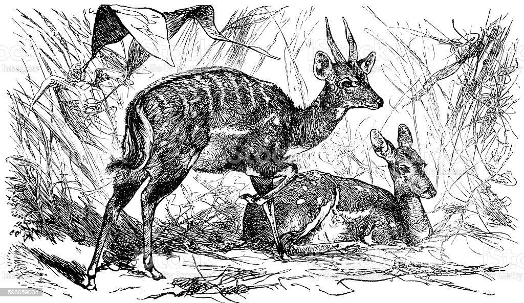 Bushbuck antelope (Tragelaphus scriptus) stock photo