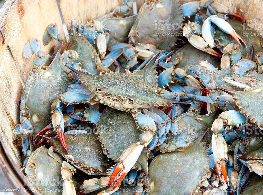 Bushel of blue claw crabs stock photo