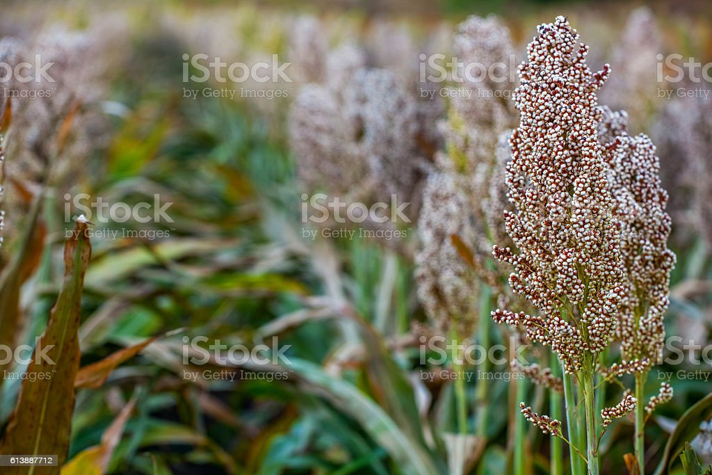 Bushes cereal and forage sorghum on the field stock photo