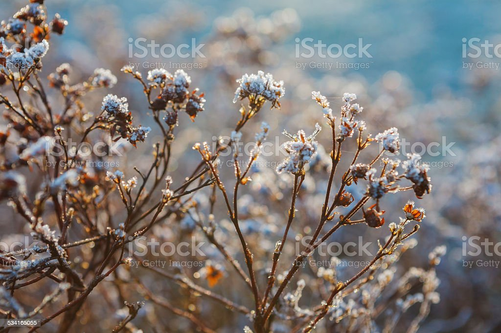Bushes covered with frost royalty-free stock photo