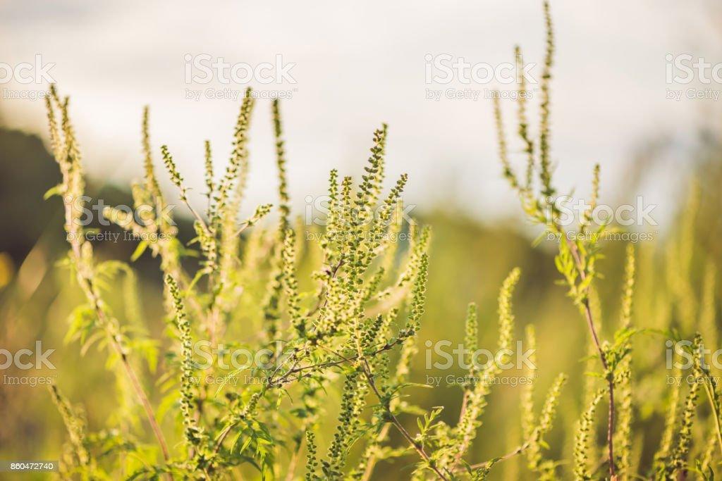 Büsche von allergischen Ambrosia bei Sonnenuntergang – Foto
