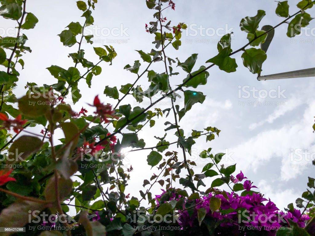 buissons de belles fleurs violettes sur fond d'un ciel clair - Photo de Arbre libre de droits