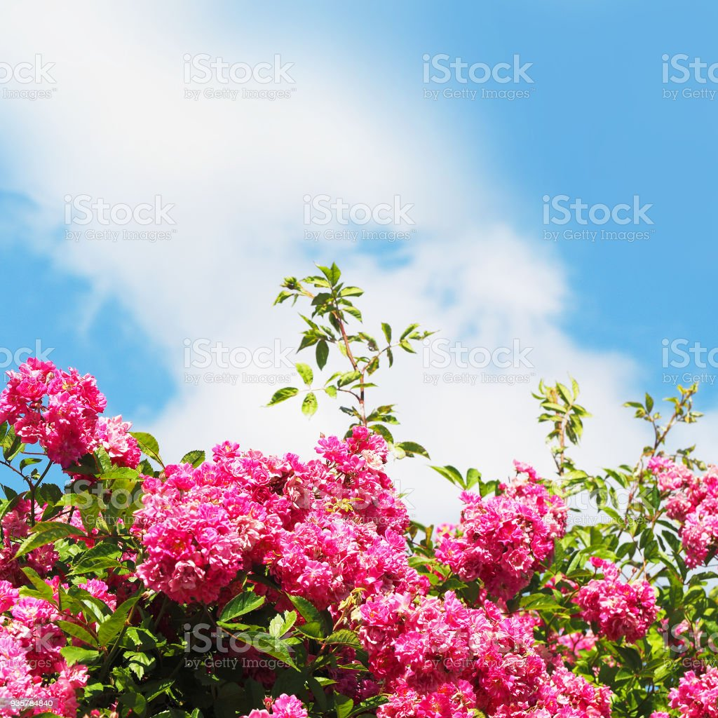 Bushes Of Decorative Pink Roses Against The Blue Sky White Cloud