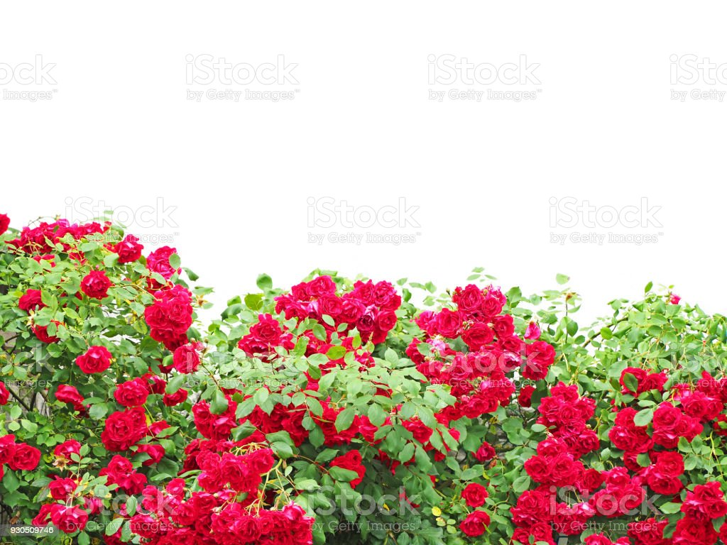 Bushes Of Red Or Scarlet Rose Flowers Lit By Bright Sun Fence