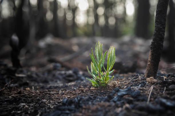 bushfire hergroei van verbrande struik - herbebossing stockfoto's en -beelden
