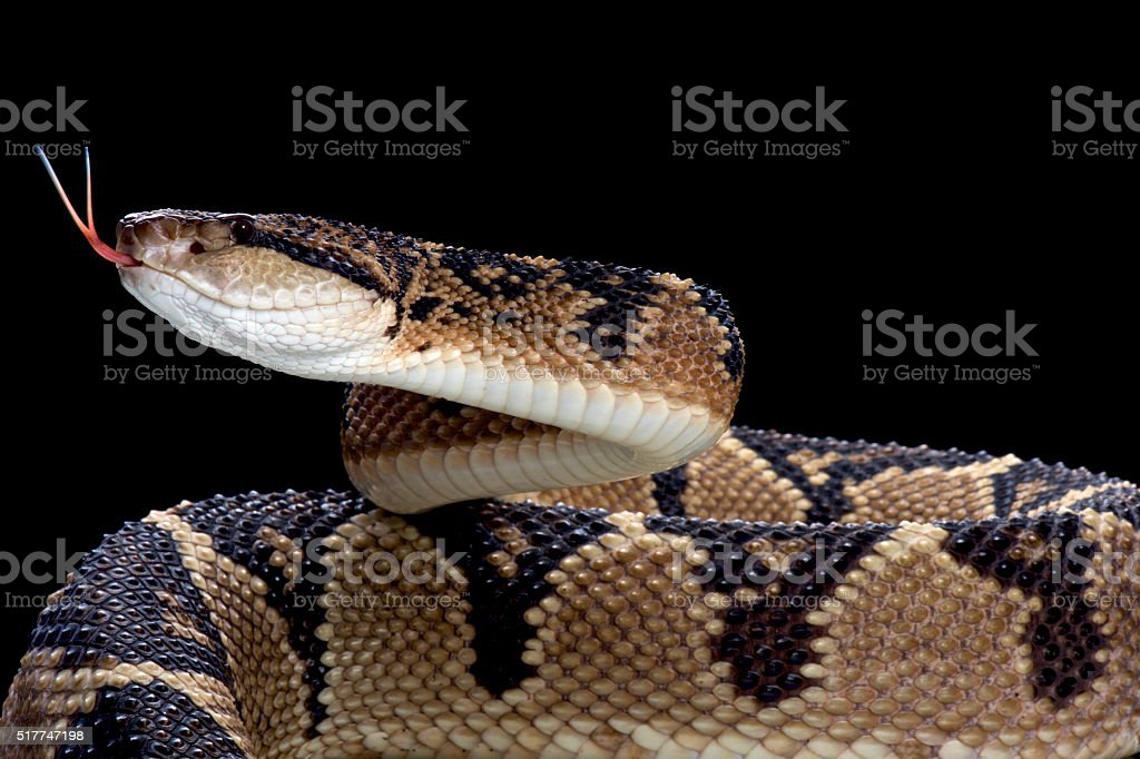 Bushmaster (Lachesis muta) stock photo