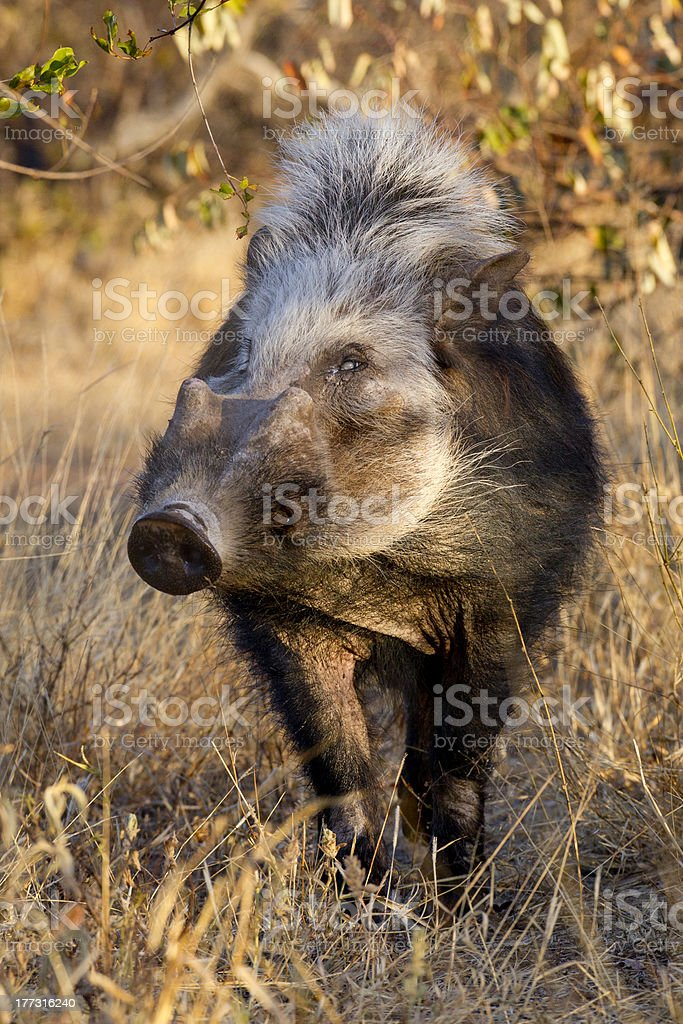 Bushpig in daytime, South Africa stock photo