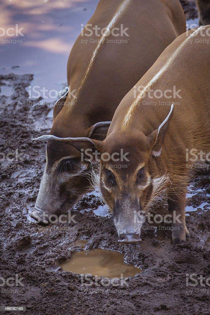 Bushpigs in the zoo stock photo