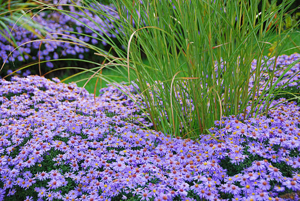 Bushy Aster border with in the middle Miscathus – Foto