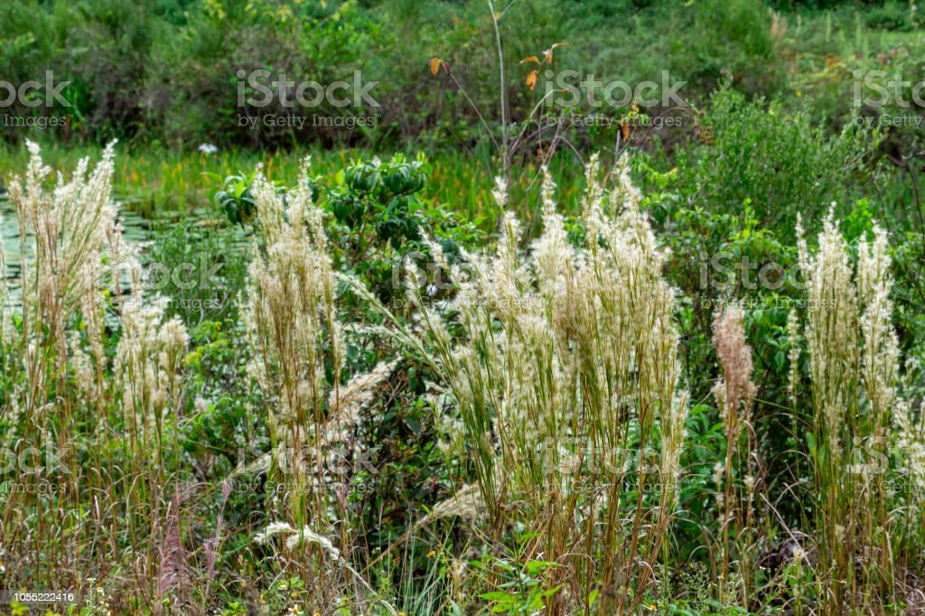Bushy Bluestem (Andropogon glomeratus) - Long Key Natural Area, Davie, Florida, USA stock photo