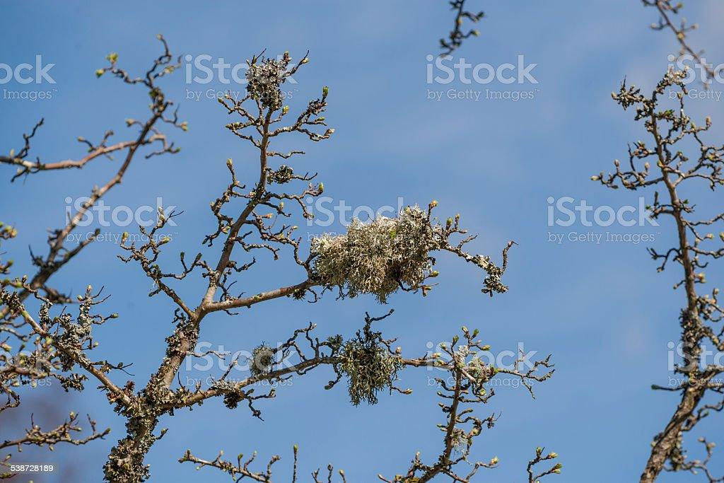 Bushy Lichen on a Budding Rowan Tree. stock photo