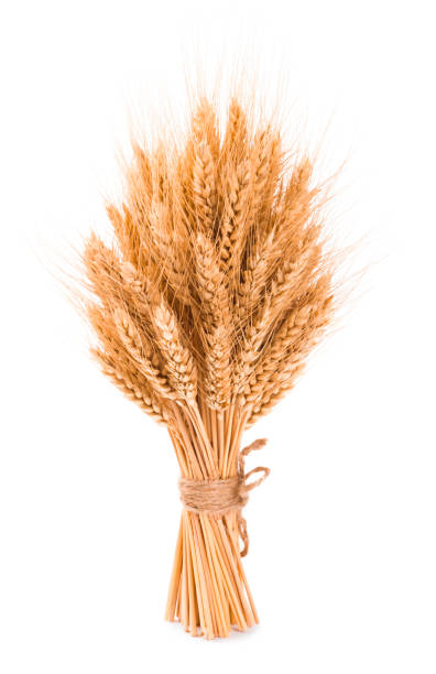 Bushy sheaf of wheat isolated on white background Bushy sheaf of wheat isolated on white background bundle stock pictures, royalty-free photos & images