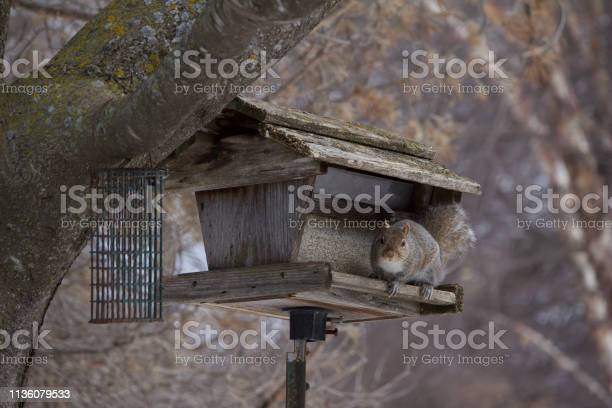 Photo of A bushy tail gray squirrel eats safflower seeds at a rustic wooden bird feeder