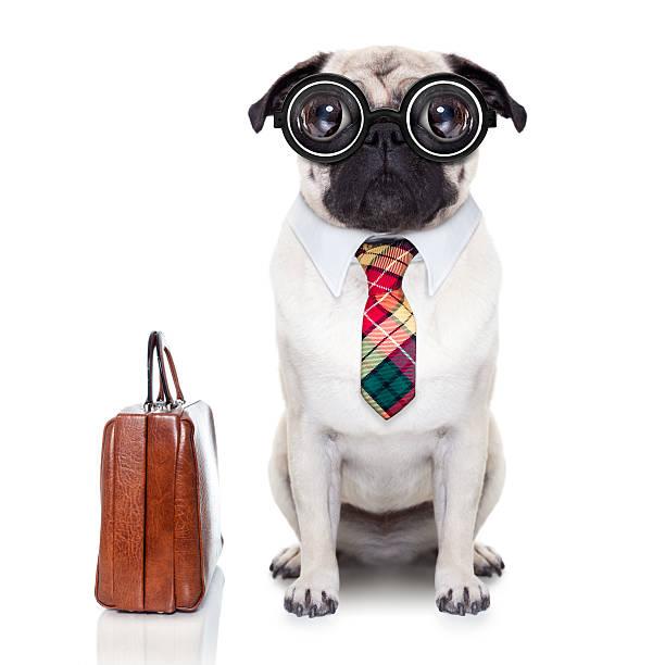 business boss hund - flippige outfits stock-fotos und bilder